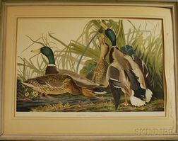 Reproduction Audubon Mallard Duck   Collotype Print