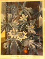 Dr. Thornton Hand-Colored Etching and Aquatint of the Passion Flower