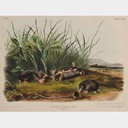 Audubon, John James (1785-1851) Townsend's Shrew Mole