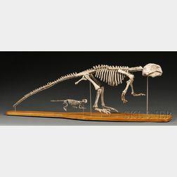 Two Psittacosaurus Dinosaur Skeletons