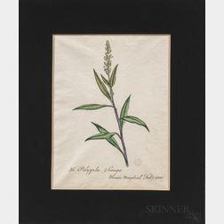 European and American Schools, 19th/20th Century, Twelve Botanical Watercolors: Seven Chrysanthemums, a Polygala Senega, a Tulip, a Nas