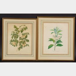 Two Botanical Prints:      After Pierre Joseph Redoute (French, 1759-1840), Enkianthus Quincueflorus