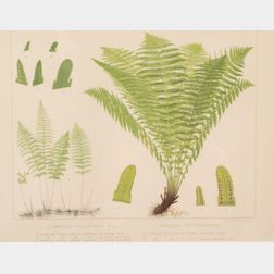 Six Framed Chromolithographs of Ferns