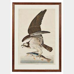Audubon, John James (1785-1851) Fish Hawk,   Plate 81.