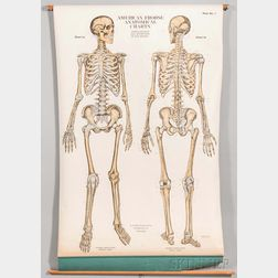 American Frohse Anatomical Charts  , Nine Pull-down Charts.