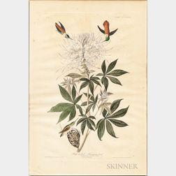 Audubon, John James (1785-1851) Ruff-necked Humming-bird,   Plate 379.