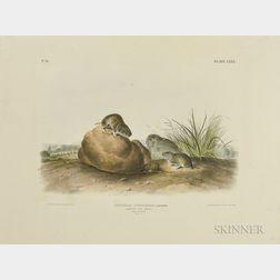 Audubon, John James (1785-1851) Lecontes Pine Mouse  , Plate LXXX