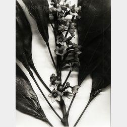 Christopher Williams (American, b. 1956) Togo (Blauschka Model 439, 1894. Genus no. 5081. Family, Sterculiaceae. Colla acuminata [Beauv