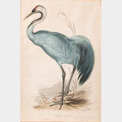 Lear, Edward (1812-1888) Common Crane, Grus Cinerea  , 1830s.