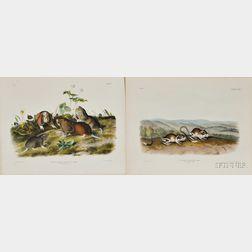 Audubon, John James (1785-1851) Pouched Jerboa Mouse   [and] Canada Pouched Rat,   Plate CXXX