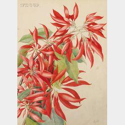 Wilhelmina F. Greene (American, 20th Century)      Poinsettia