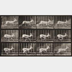 Eadweard Muybridge (British, 1830-1904)      Two Images from ANIMAL LOCOMOTION:   Plate 698 (Gazelle)