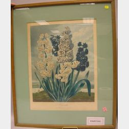 Dr. Thornton Hand-Colored Etching of Hyacinths and Two Botanical Watercolors