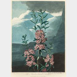 Robert John Thornton, publisher (British, c. 1768-1837)      The Narrow-leaved Kalmia