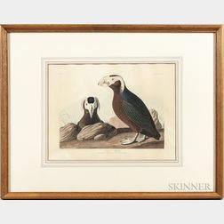 Audubon, John James (1785-1851) Tufted Puffin  , Plate CCXLIX.