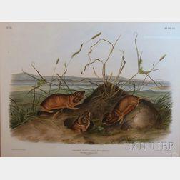 Audubon, John James (1785-1851), John Woodhouse (1812-1862)
