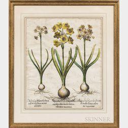 Basilius Besler (German, 1561-1629)      Two Botanical Engravings with Hand-coloring: Narcissus Polyanthos Ori