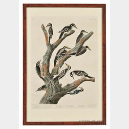 Audubon, John James (1785-1851) Marias Woodpecker, Three-toed Woodpecker, Phillips Woodpecker, Canadian Woodpecker, Harriss Woodpecke