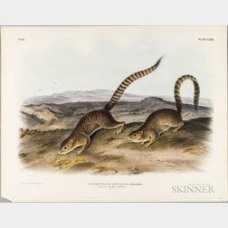 Audubon, John James (1785-1851) Annulated Marmot Squirrel and Says Least Shrew.   Plates, LXXIX and LXXX.