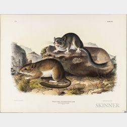 Audubon, John James (1785-1851) Parry's Marmot Squirrel   and Rocky Mountain Neotoma.   Plates, IX and XXIX.