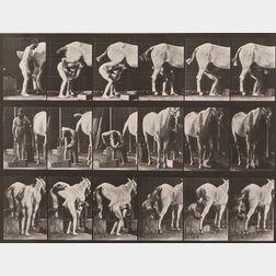Eadweard Muybridge (British, 1830-1904)      Plate 509 (Man Shoeing a Horse)