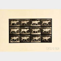 Eadweard Muybridge (British, 1830-1904)      Plate 696 (Trotting Eland), from Animal Locomotion