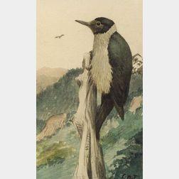 Louis Agassiz Fuertes (American, 1874-1927)  The Woodpecker