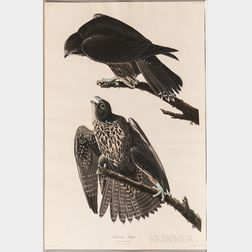 Audubon, John James (1785-1851) Labrador Falcon  , Plate CXCVI.