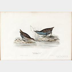 Gould, John (1804-1881) and Elizabeth Gould (1804-1841) Baillon's Crake.