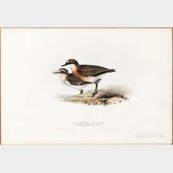 Gould, John (1804-1881) and Elizabeth Gould (1804-1841) Red-Chested Dottrel.