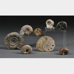 Group of Eight Ammonites