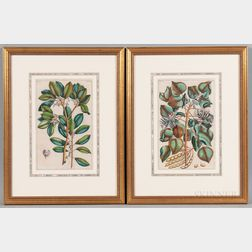 Georg Eberhard Rumphius (German, 1627-1702)    Two Framed Botanical Prints from Herbarium Amboinense