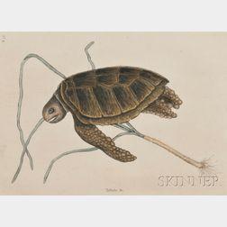 Catesby, Mark (1682-1749) Green Sea Turtle