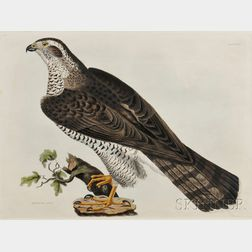 Selby, Prideaux John (1788-1867) Goshawk, Adult