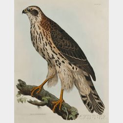 Selby, Prideaux John (1788-1867) Young Goshawk, Male