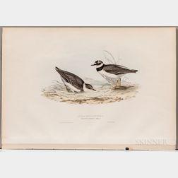 Gould, John (1804-1881) and Elizabeth Gould (1804-1841) Little Ring-Dottrel.