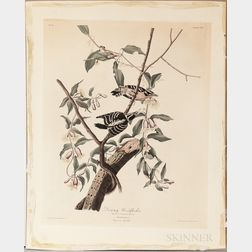 Audubon, John James (1785-1851) Downy Woodpecker,   Plate CXII.