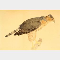 Louis Agassiz Fuertes (American, 1874-1927)    Coopers Hawk, Accipiter Cooperi, Adult Female
