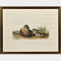 Audubon, John James (1785-1851) Three Quadruped Prints, Says Least Shrew, Lecontes Pine Mouse, [and] Townsends Shrew Mole. Plates LXX