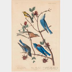 Audubon, John James (1785-1851) Townsend's Warbler, Arctic Blue-bird, and Western Blue-bird  , Plate CCCXCIII.