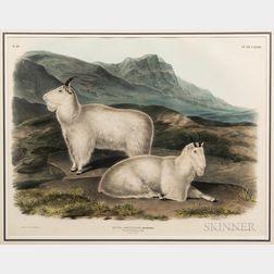 Audubon, John James (1785-1851) Capra Americana, Rocky Mountain Goat, Plate CXXVIII.