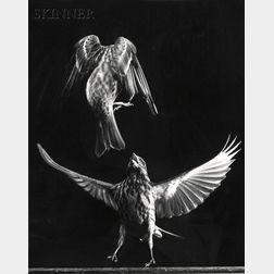 Harold Eugene Edgerton (American, 1903-1990)      Fighting Finches