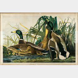 Audubon, John James (1785-1851) Mallard Duck.