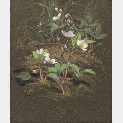 American/European School, 19th Century      Strawberry Plant