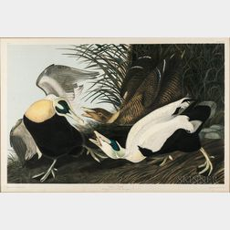 Audubon, John James (1785-1851) Eider Duck  , Plate 405.