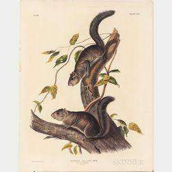 Audubon, John James (1785-1851) Collies Squirrel  , Plate CIV.