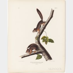 Audubon, John James (1785-1851) Richardson's Columbian Squirrel  , Plate V.