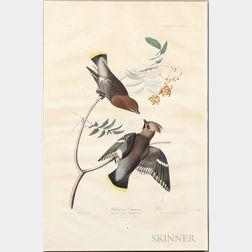 Audubon, John James (1785-1851) Bohemian Chatterer,   [Cedar Waxwing], Plate 363.