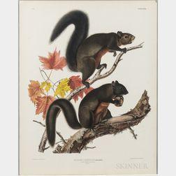 Audubon, John James (1785-1851) Long Haired Squirrel  , Plate XXVII.