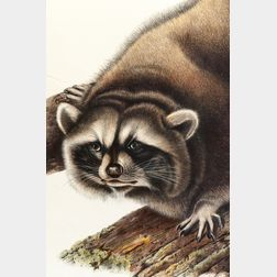 Audubon, John James (1785-1851) Raccoon  , Plate LXI.